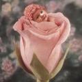Różana Julka